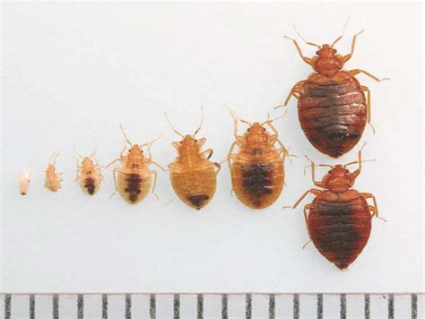 bed bug stages bed bug pictures stages bangdodo