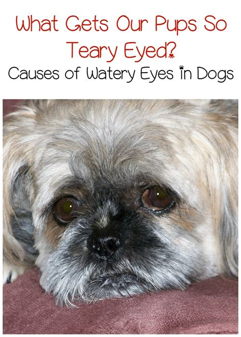 when can a puppy get fixed causes and treatment of watery in dogs