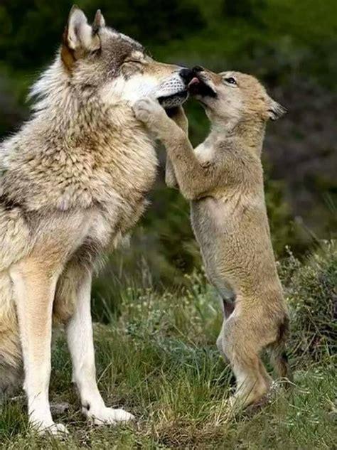 wolf cub playing  parent luvbat