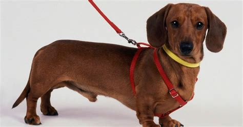 sausage dogs sausage in tug of row after fosterer refuses to return prized pooch to owner