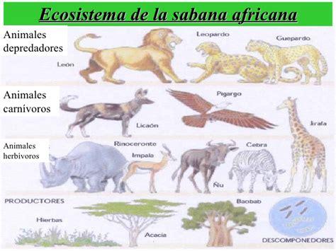 cadena alimenticia jirafa la cadena alimentaria