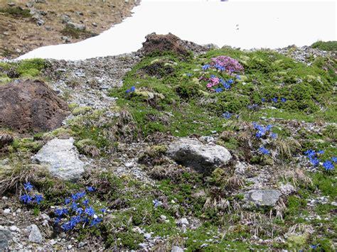 piccolo giardino zen un piccolo giardino zen silene acaulis e gentiana