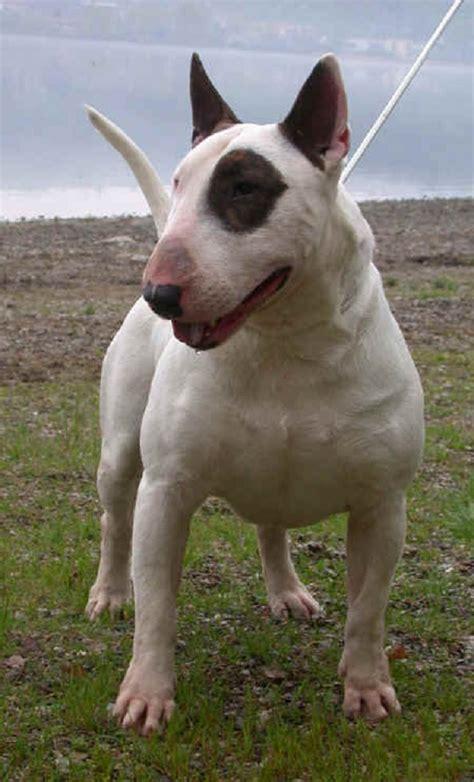 bull terrier english bull terrier standard miniature