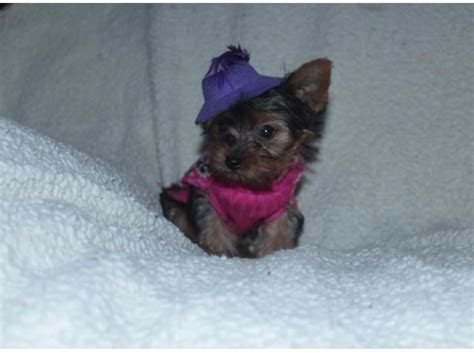 yorkie puppies for sale utah hgfbh and terrier puppies for sale 678 5864645 animals