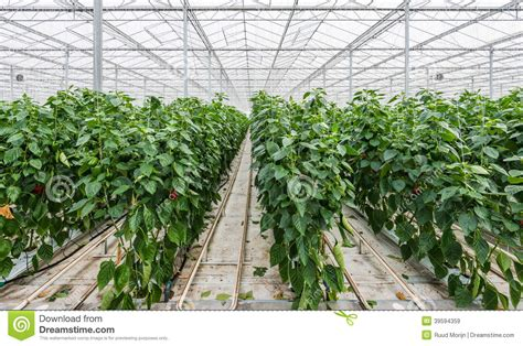 Industrial House Plans by Hydroponic Paprika Cultivation Stock Photo Image 39594359