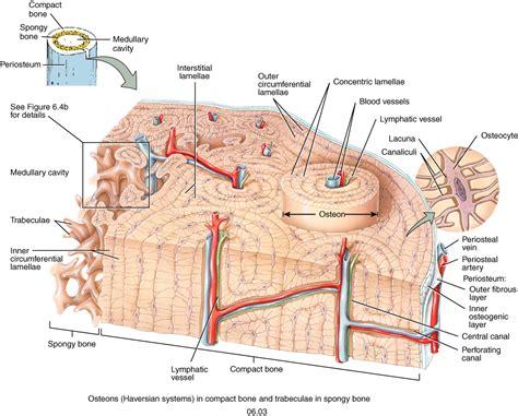 compact bone diagram labeled compact bone anatomy organ