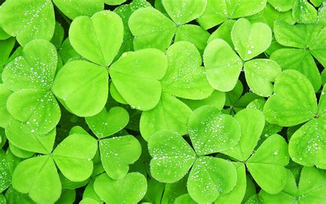 Clover Green green seductive wallpaper tender green clover plant