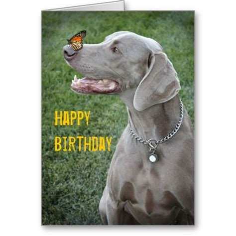 Weimaraner Cards - 840 best images about weimaraners on beautiful