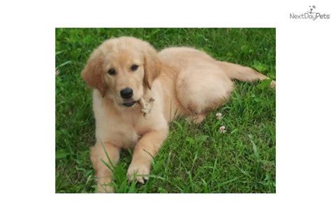 golden retriever puppies for sale near cincinnati ohio golden retriever puppy for sale near cincinnati ohio 7ae8a4fc 3ba1