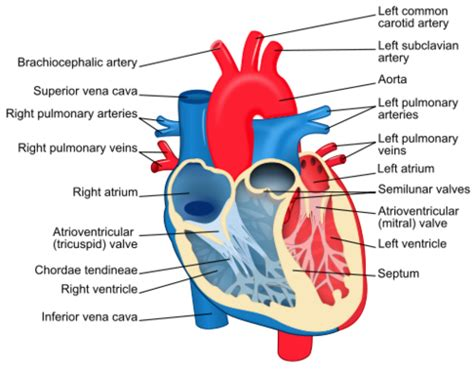 pattern of heart blood flow lab 8 vertebrate circulation and respiration openwetware