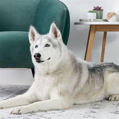 siberian husky dog breed history   interesting facts