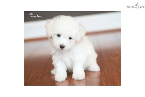teacup cockapoo puppies for sale and teacup breeds picture