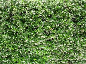 Asian Trellis Trachelospermum Jasminoides Kopen Tuincentrum Nl Is De