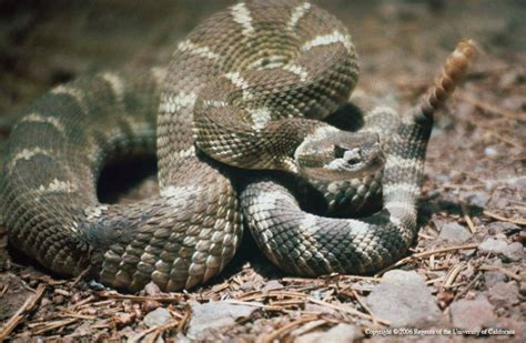 Garden Snake Rattle The Solano Sun Agriculture And Resources Blogs