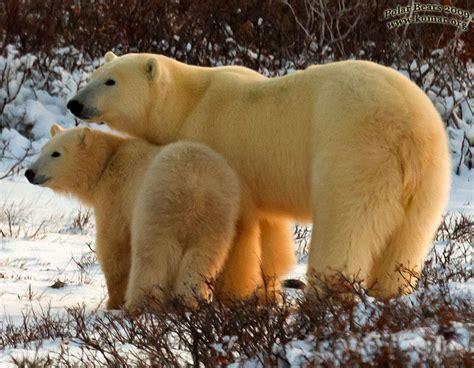 churchill polar trips tours cool