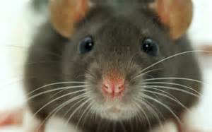 mouse images motivation 5 simple incentives a mouse can teach