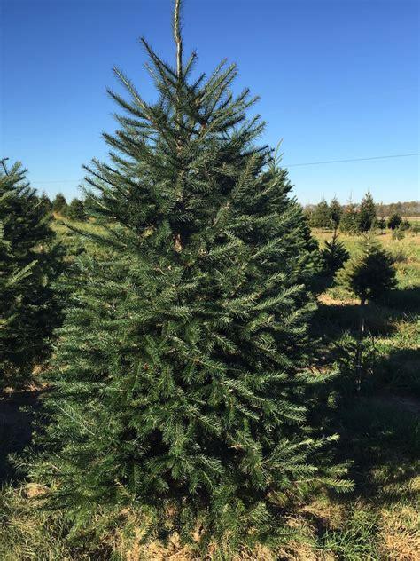 tree varieties young s christmas tree farm