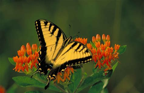 black wallpaper with yellow butterflies file black striped yellow tiger swallowtail butterfly