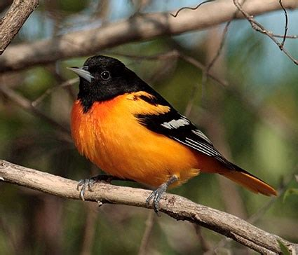 orchard oriole identification all about birds cornell