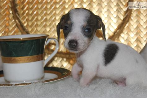 teacup dachshund puppies teacup dachshund puppies for sale miniature dachshund teacup picture breeds picture