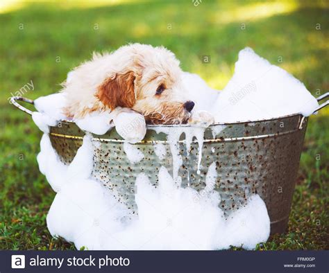 puppies taking a bath adorable puppy golden retriever puppy taking a