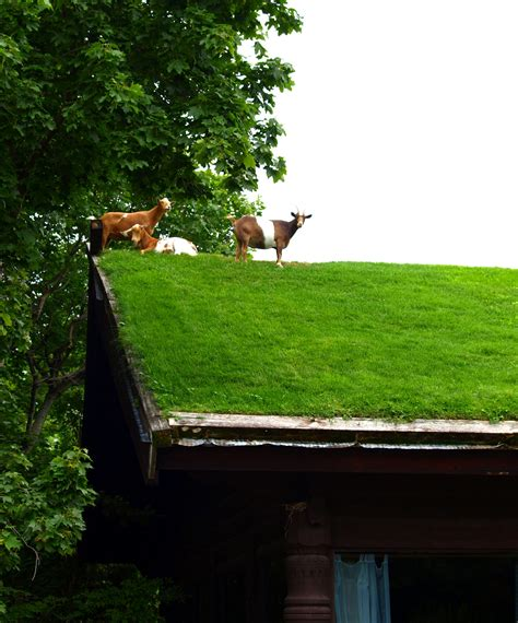 Goats On Roof Door County by Bay Door County Wisconsin Three Goats On The