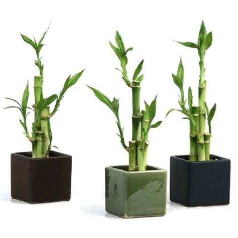 Lucky Bamboo Vases Pots by Lucky Bamboo Arrangement Modern Square
