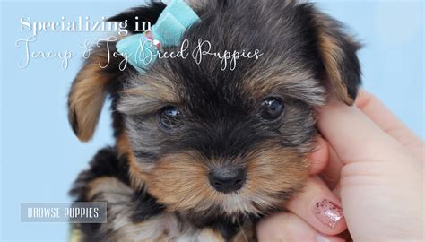 teacup yorkie puppies for sale in ontario pin kijiji ontario on