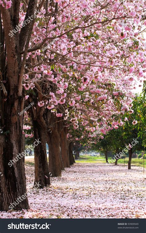 cherry blossom trees garden stock photo 93909949