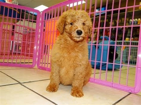 goldendoodle puppies for sale in sc goldendoodle puppies dogs for sale in charleston