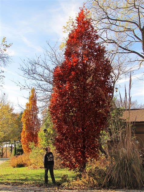 fastigiate trees images  pinterest plant catalogs  small  branches