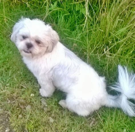 and white shih tzu toby jug is a kennel club white shih tzu st helens merseyside pets4homes
