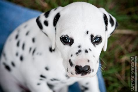 dalmatian puppies florida simply spotted photo florida pet photographer the