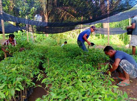 Jual Bibit Pohon Gaharu jual bibit gaharu di kar jual bibit tanaman unggul