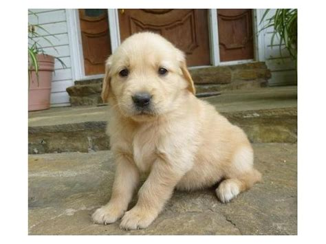 golden retriever puppies for sale toronto puppy for sale in cape town photo