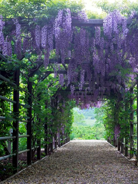wisteria climbing plant 15 climbing vines for lattice trellis or pergola