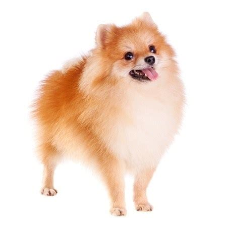 pomeranian ears small breeds the smart guide