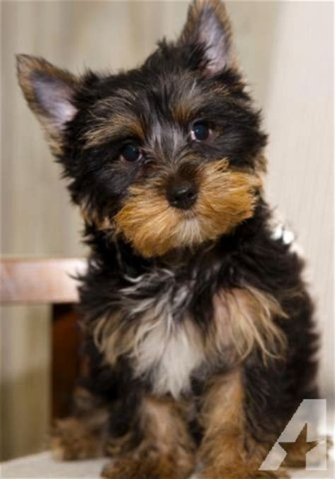 parti yorkie akc akc parti yorkie pups avail now for sale in conway south carolina classified