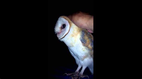 barn owl cara melatih burung hantu friendly barn owl in my backyard doovi