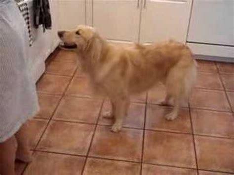 golden retriever breakfast 14 week golden retriever puppy is excited for lunch funnydog tv