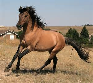 Black Mustang Horse For Sale 1000 Images About Spanish Mustang On Pinterest The Black Mustang Horses And Spanish