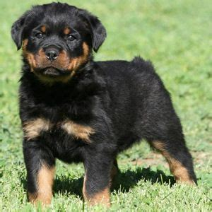 rottweiler puppies buffalo ny 17 best ideas about baby rottweiler on