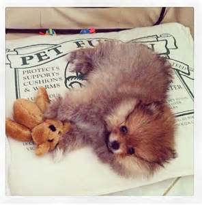 teddy pomeranian chicago best 20 teddy puppies ideas on teddy dogs small puppies and
