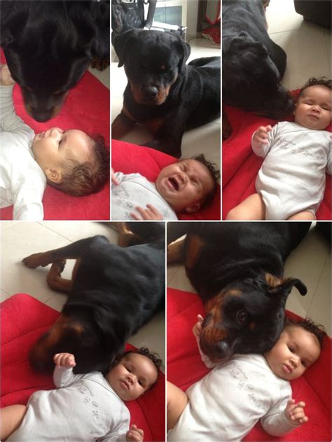 rottweiler and baby how to comfort a baby dangerous rottweiler style dogs o connell