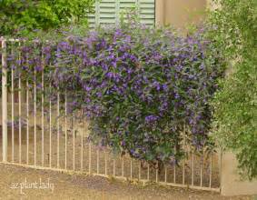 Fast Growing Climbing Plants For Trellis - a lilac for the desert another great lesser known plant to try ramblings from a desert garden