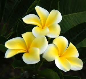 Flowers Partial Shade - plantfiles pictures plumeria thornton s lemon drop