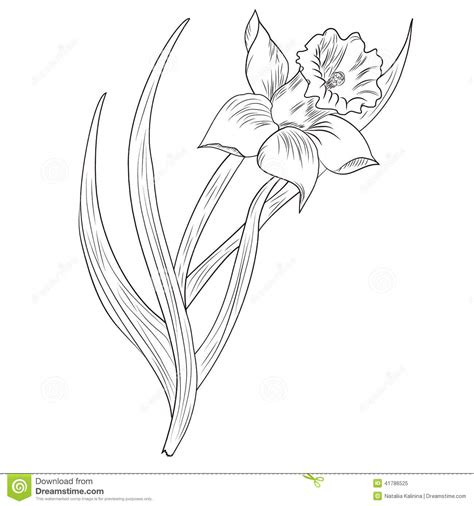 daffodil flower or narcissus isolated on white stock