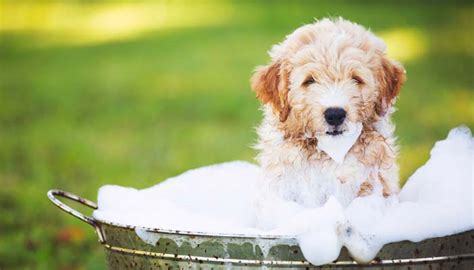 Prevent Shedding In Dogs by 9 Tips On How To Prevent Shedding In Dogs And Keep Hair Away