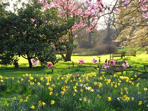spring gardens magnolia trees and daffodils at kew gardens looking