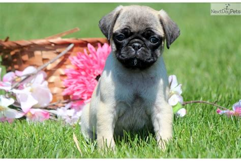 pug for sale in pa pug pug for sale in lancaster pa 4199805395 4199805395